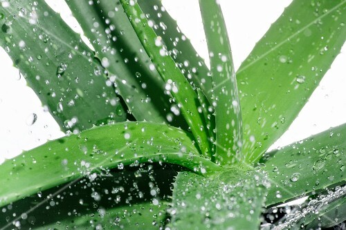 Aloe vera with droplets of water (close-up)
