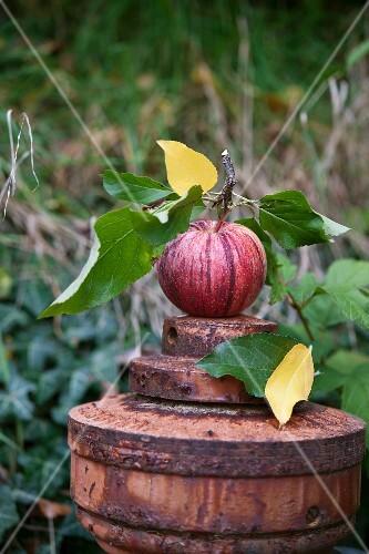 A fresh apple in an autumnal garden