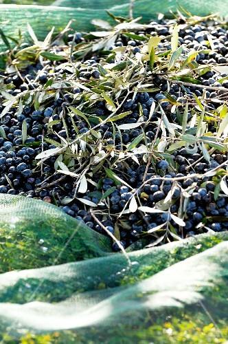 Freshly harvested olives on netting