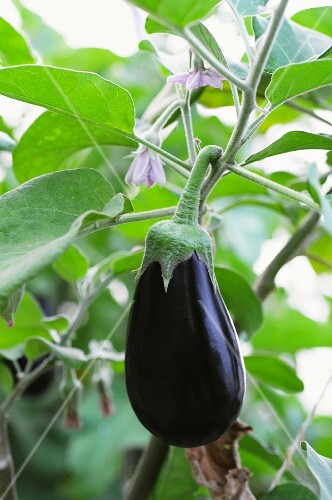 A ripe aubergine and aubergine flowers on a plant