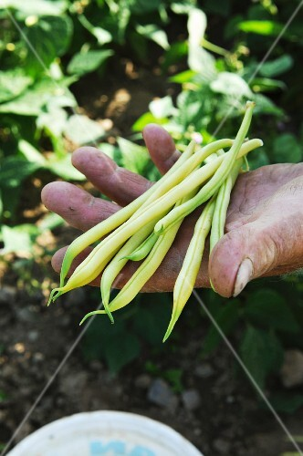A man holding freshly harvested beans in his hand
