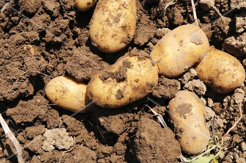 Freshly harvested potatoes on the soil