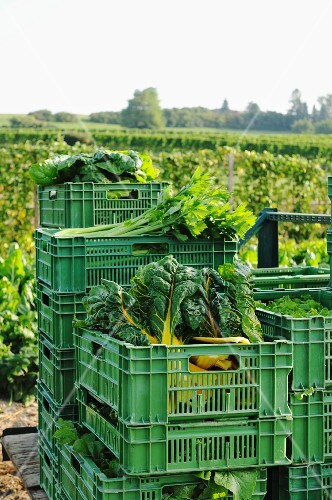 Freshly harvested vegetables in plastic crates by a field of vegetables
