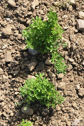 Oregano growing in the field