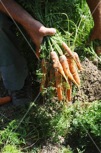 A man harvesting carrots in the field