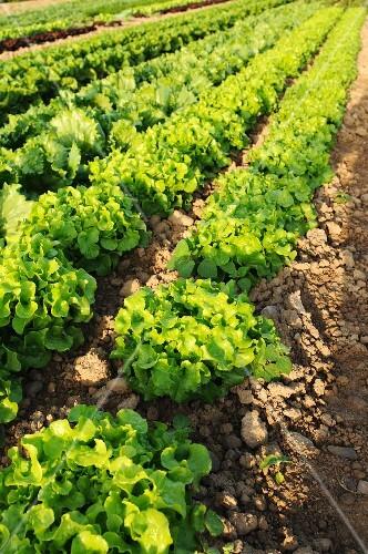 Oak leaf and Batavia lettuce growing in the field
