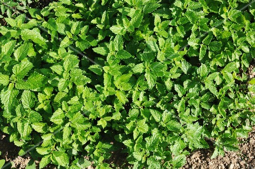 Lemon balm growing in the field (view from above)