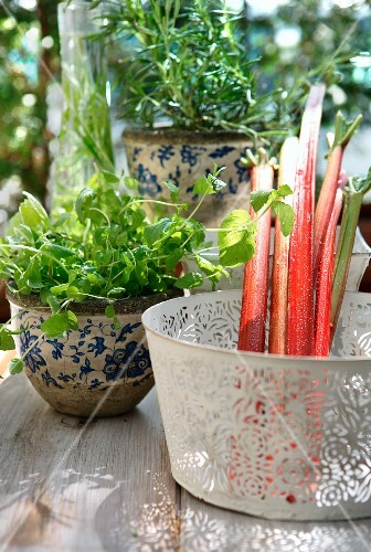 Rhubarb and herbs in pots on a table outdoors