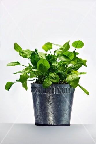 Sorrel in a flowerpot