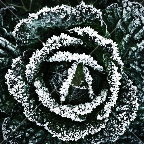Wintercabbage