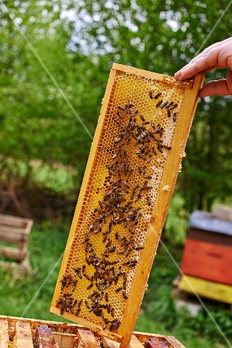 Bees on the comb