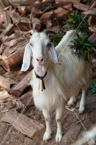 A white goat with a bell