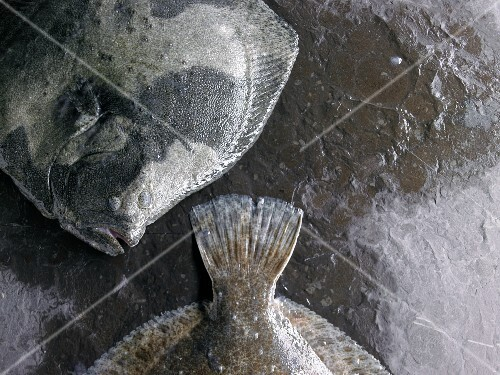 Two turbots on a stone surface