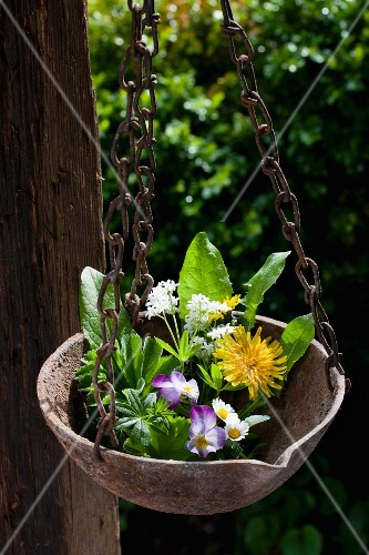 Various spring herbs in suspended metal bowl in garden