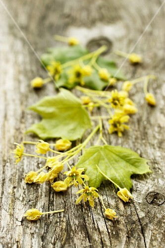Maple flowers and leaves on a wooden surface