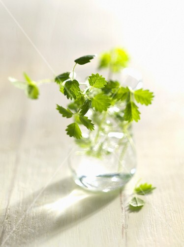 Fresh salad burnet in a glass of water