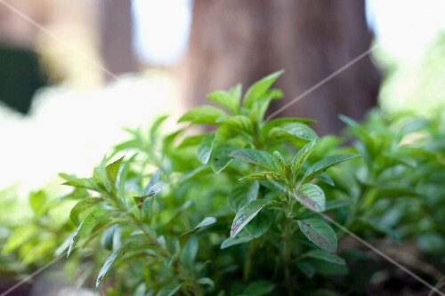 Fresh mint in the open air
