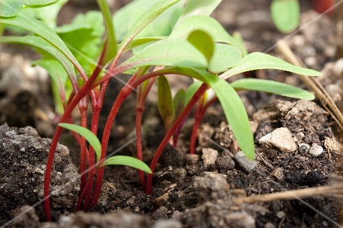 Chard plants growing in the soil