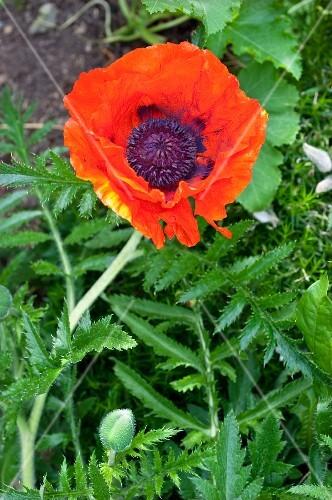 Vibrant red poppy flower