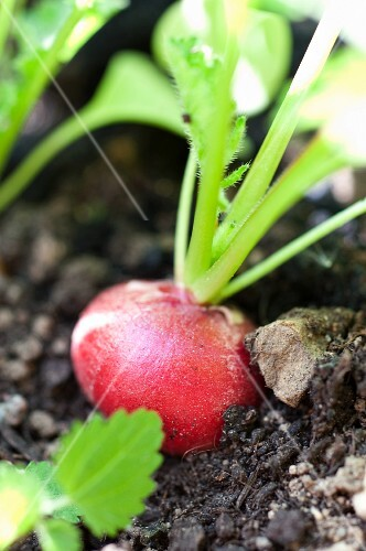 Radishes in the ground