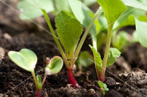 Young radish plants