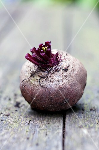 A freshly harvested beetroot