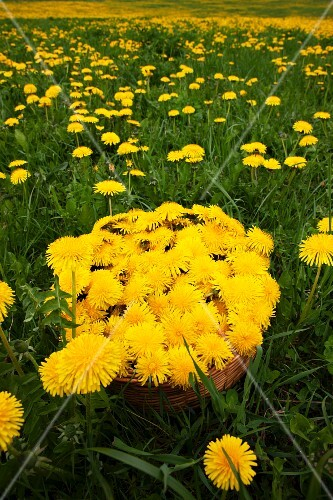 Freshly picked dandelion flowers in basket in meadow