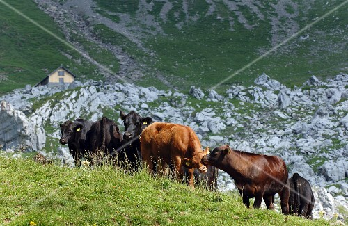 Angus cows on the Alps in the canton of Nidwalden, Switzerland