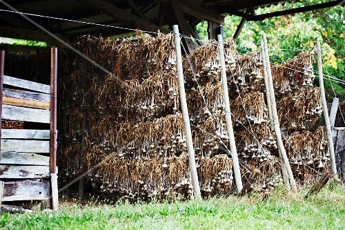 Garlic hung up to dry