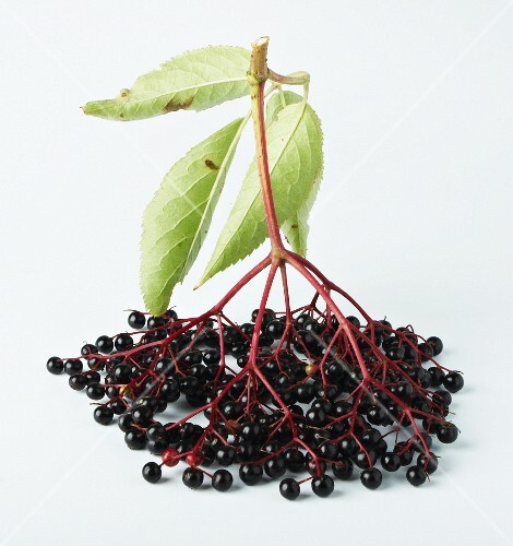 Elderberries with leaves