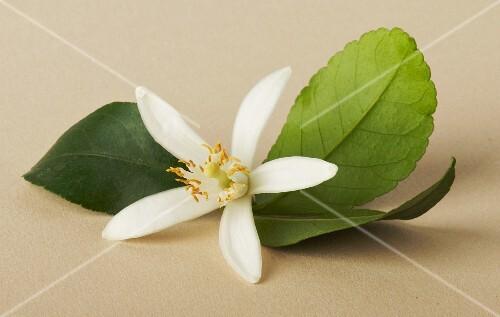 A citrus flower