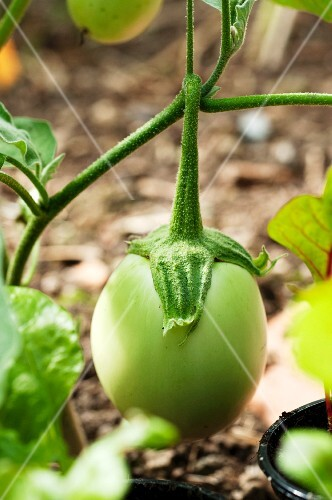 A green aubergine on the plant in a vegetable bed