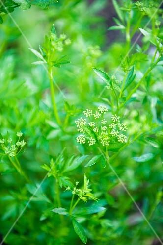 Parsley flowering in the garden