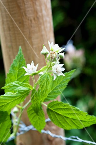 A raspberry sprig with flowers