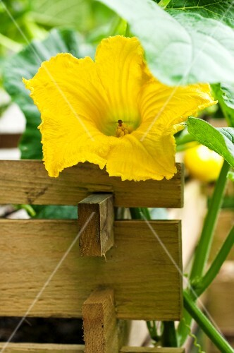 A Hokkaido pumpkin flower on the plant in a raised bed