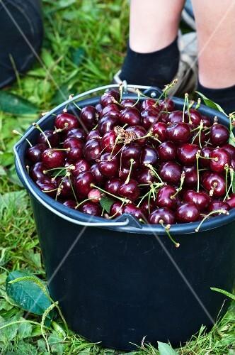 A bucket of freshly harvested cherries in the garden