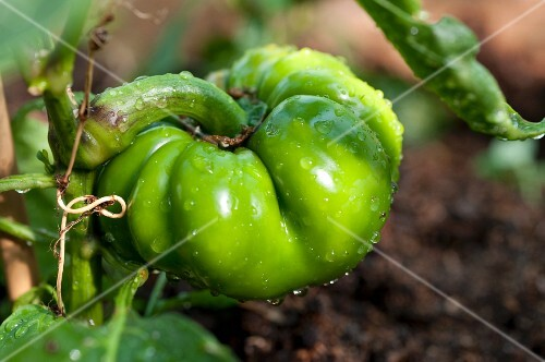 A green pepper with water droplets on the plant