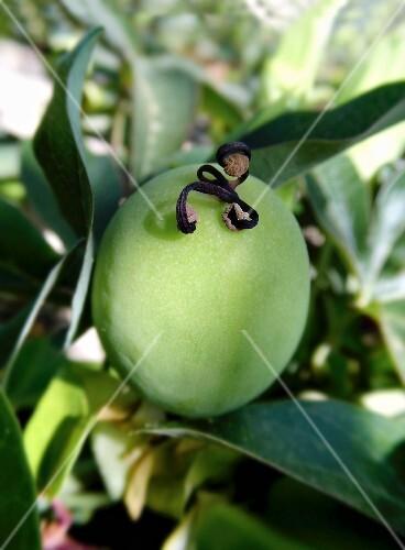 An unripe passion fruit on the bush