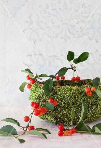 Sour Cherries Still on Branches