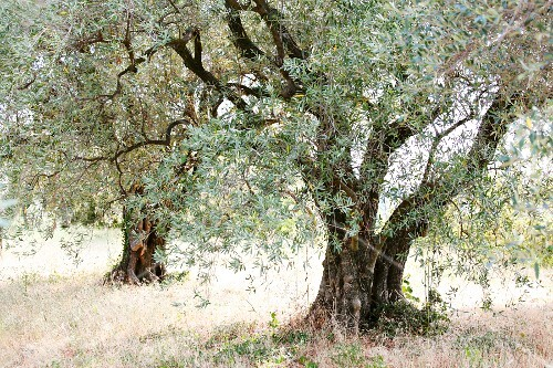 Two gnarled olive trees