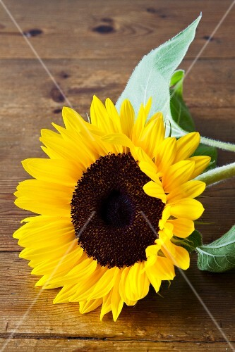 Sunflower on wooden surface