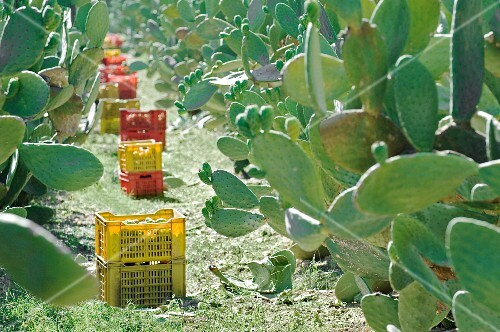 Prickly pears being harvested (Sicily)