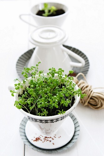 Growing herbs and herb decoration: cress seeds (cress in a porcelain coffee filter)