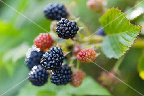 Ripe and unripe blackberries on the bush