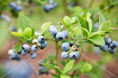 Wild blueberries on the bush