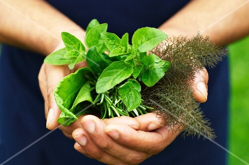 A man's hands holding fresh herbs