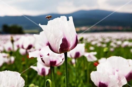 A field of flowers with white and purple poppy flowers