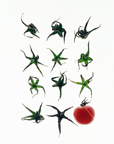 A tomao and eleven tomato stalks against a white background