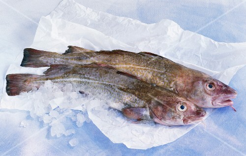 Two fresh gilt-head bream on paper with ice cubes