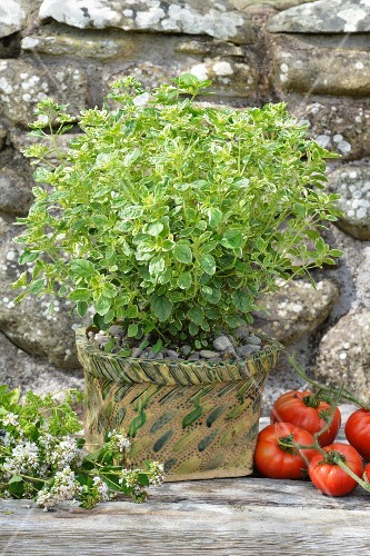 White-flowering oregano (Origanum vulgare 'Country Cream')